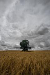 Gold and green (grbush) Tags: tree lonetree lonelytree solitude landscape minimalism barley field rural farm farming countryside england sonyslta77 northamptonshire tokinaatx116prodxaf1116mmf28 clouds storm sky