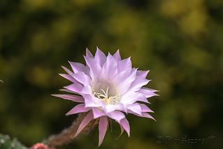 Flor de cactus,(echinopsis oxigona) , un milagro, abierta entre espinas, tu vida es  breve, tu belleza inmortal.