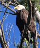 IMG_7164 3baldeaglecopygr (Sally Knox Sakshaug) Tags: ourdoors nature wildlife bald eagle symbole americal usa perched tree looking up closeup majestic adult brown white eye beak golden