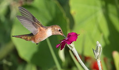 Rufous Hummingbird, Female (Eric_Z) Tags: rufoushummingbird hummingbird redflowers coquitlam britishcolumbia canada canoneos7dmkii
