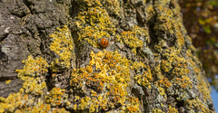 Bug (Jorden Esser) Tags: bark ladybug lichen tree