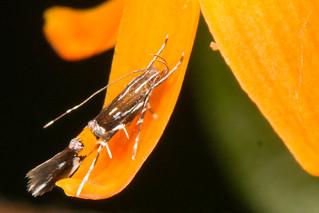 Cosmopterix Moth - Cosmopterix