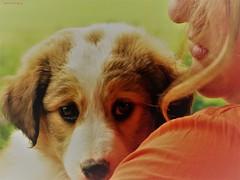 Caramel (anna.patalagoity) Tags: chiot chien petit amoureux regard caramel marron blanc berger australien dog
