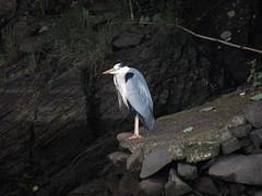 Heron, Porthmadog 2017 (Dave_Johnson) Tags: heron bird wildlife britanniabridge gwynedd portmadoc porthmadog wales