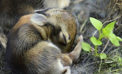 Dreams of the young (Captions by Nica... (Fieger Photography)) Tags: rabbit baby wildlife animal cute cuteness adorable outdoor nature fuzzy ears bunny bunnies quebec canada