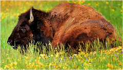 SOMETIMES it is hard to get up in the morning (Aspenbreeze) Tags: bison buffalo wildlife wildanimal animal bullbison sleepingbison nature wyomingwildlife yellowstone yellowstonewildlife yellowstonenationalpark greass flowers horns bevzuerlein aspenbreeze moonandbackphotography