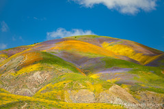 Vibrant flower covered hills below Mckittrick Summit, Carrizo Pl (Gary Rides Bikes) Tags: california carrizoplain carrizoplainnationalmonument mckittricksummit northamerica sanluisobispocounty springtime temblorrange usa beautyinnature goldcolored hill idyllic inbloom landscape mountainridge nature nopeople plain remote rollinglandscape scenicsnature vibrantcolor yellow