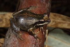 Plains brown tree frog (Litoria paraewingi) (Jordan Mulder) Tags: plains brown tree frog wildlife amphibian litoria paraewingi