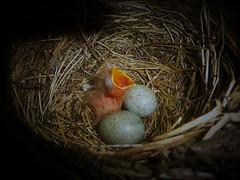 Blackbird Chick..x (Lisa@Lethen) Tags: blackbird chick nest eggs hatched nature wildlife wild bird