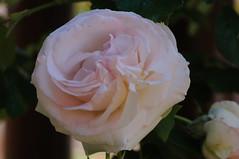 20170611_Jardins_Secrets_Vaulx_Fl (20 sur 23) (calace74) Tags: rhonealpes fleurs france jardin jardinssecrets macro