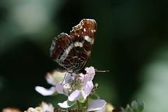 Butterfly (Hugo von Schreck) Tags: hugovonschreck butterfly schmetterling falter insect insekt macro makro canoneos5dsr tamron28300mmf3563divcpzda010 landkärtchen buzznbugz onlythebestofnature