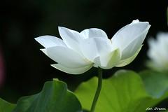 _52R5345 (Dream Delivered (Dreamer.Thanks for +6.000.000 vi) Tags: white lotus flower thebestofmimamorsgroups photosandcalendar