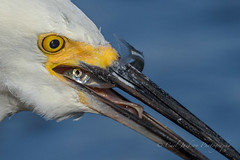 One last look (cbjphoto) Tags: avian bolsachica reserve bird egrettathula snowy ecological photography egret carljackson