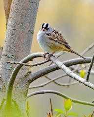 White-crowned Sparrow (MoodyGoat) Tags: sparrow whitecrownedsparrow illinoisbeachstatepark ibsp birds