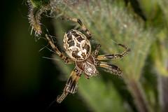 orb web spider (larinioides cornutus) (Steve Ln) Tags: brandonmarsh larinioidescornutus orbwebspider spider