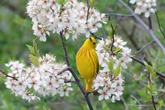 Yellow Warbler (av8s) Tags: yellowwarbler warbler birds perchingbirds songbirds nature wildlife photography nikon d7100 sigma 120400mm nescopeckstatepark pennsylvania pa