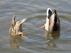 Bottoms up! (Lexie's Mum) Tags: walks walking coombecountrypark coombe coombeabbey warwickshire nature spring bird birds wildlife wildfowl waterfowl