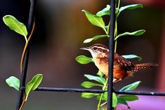 Carolina Wren DSC_3309 (blthornburgh) Tags: thornburgh tampa florida sunshinestate songbird backyard nature outdoors garden bird carolinawren carolinawrenthryothorusludovicianus wren