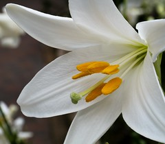 Madonna lily (Kenih8) Tags: madonnalily olympus pen epl7