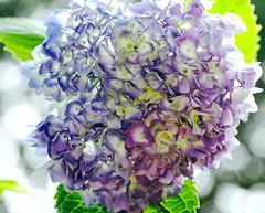 Hydrangea Otaksa 紫陽花 (ajisai) (Kenih8) Tags: hydrangea otaksa 紫陽花 olympus pen epl7 elmarit 45mm おタキさん あじさい jp 日本