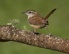 Carolina Wren (AllHarts) Tags: carolinawren backyardbirds memphistn naturescarousel ngc naturesspirit feathersbeaks ourwonderfulandfragileworld americaamerica