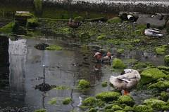 Mandarin Duck, Faroe Islands (Renno Hokwerda) Tags: faroe faroese faroes færøerne færøer islands färöerinseln mandarin duck mandarijneend aix galericulata klaksvík