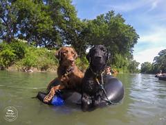 24/52 Nemo (- Una -) Tags: 52weeksfordogs nemo curly curlycoatedretriever ccr retriever curlydog dog animal blackdog blackcurlycoatedretriever texas lake tubingtexas