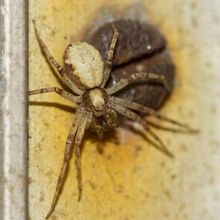 Philodromus cespitum - Turf-running Spider (f) and prey.