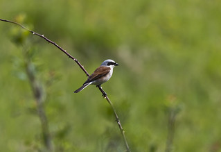 Red-backed Shrike perched on thorned bush