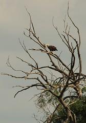 eagle on the chat tree (Haliaeetus albicilla) (stempel*) Tags: polska poland polen polonia gambezia pentax k30 bigma sigma nature kraśnicza wola bielik orzeł bird ptak eagle haliaeetus albicilla