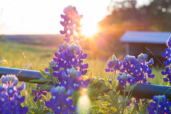 Sun Through the Ennis Bluebonnets (JollyGreenJohn) Tags: usa texas bluebonnet bluebonnets ennis spring flower flowers bokeh depthoffield dof foto fotograf photo photograph canon 50mm18 sunset landscape flora solar stateflower flickr 500px excellent awesome picoftheday natgeo time yahoo stunning lightcapture chasinglight ennisbluebonnetfestival