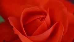 Rouge passion (passionpapillon) Tags: macro fleur flower rose rouge red passionpapillon 2017 jardin garden
