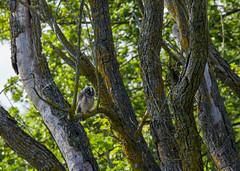 Hibou moyen duc (JeanJoachim) Tags: hiboumoyenduc asiootus longearedowl strigiformes strigidae oiseau bird vogel aves uccello fågel fugl pássaro バード lintu птица ptak pentaxk5ii smcpentaxda300mmf4edifsdm waldohreule