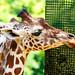 Giraffe : キリン