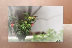 Sunbird - Singapore (cattan2011) Tags: sunbird birds traveltuesday travelbloggers travelphotography travel singapore naturelovers natureperfection naturephotography nature wildlifelovers wildlifewednesday wildlifeplanet wildlifephotography wildlife landscapeportrait landscapephotography landscape