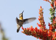 Hovercraft -- Anna's Hummingbird -- Female (Calypte anna); Catalina, AZ [Lou Feltz] (deserttoad) Tags: nature arizona bird wildbird songbird hummingbird desert flight flower bloom silhouette ocotillo