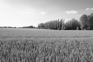 Wheat and Trees