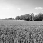 Wheat and Trees thumbnail