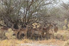Herd of Impala (naturalturn) Tags: herd impala savanna tree savuti chobe chobenationalpark botswana image:rating=5 image:id=206093