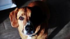 Chien le plus bizarre que je connaisse... (thomasletallec) Tags: gucci chien dog hotdog animaux idiot