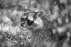 raccoon (rondoudou87) Tags: pentax k1 monochrome nature natur noiretblanc noir bokeh black blackwhite wildlife wild white smcpda300mmf40edifsdm sauvage dof 7dwf