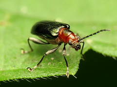 Say's Oulema (treegrow) Tags: washingtondc rockcreekpark lifeonearth nature canonpowershotsx40hs raynoxdcr250 arthropoda insect beetle coleoptera chrysomelidae oulemasayi taxonomy:binomial=oulemasayi
