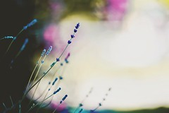(coral staley-hall) Tags: canon 6d bokeh flowers lavender 85l 12l fullframe naturallightphotographer