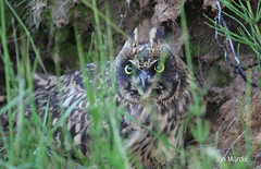 Brandugluungi - Asio flammeus - Short-eared owl chick. (Jón Mýrdal Böðvarsson) Tags: brandugla