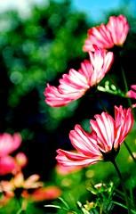 Summer Flowers (barbara_donders) Tags: bloemen wildflowers wildebloemen inbloei inthefield inhetveld zomer spring lente nature natuur prachtig mooi beauty beautifull magical grass gras groen green pink roze zon sun