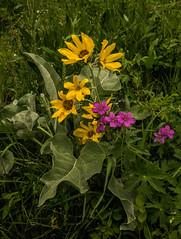Mountain Flowers (Kim Tashjian) Tags: flowers mountain hike montana