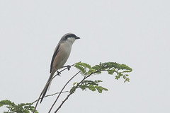 Long-tailed Shrike (steve happ) Tags: ganj india laniusschach longtailedshrike madhyapradesh orchha