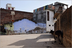 amidst change, ghanerao (nevil zaveri (thank you for 15 million+ views)) Tags: zaveri india ghanerao cow mammals animals color colour rajasthan photography photographer images photos blog stockimages photograph photographs nevil nevilzaveri stock photo culture street wall solar shadow