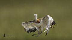 Avutarda macho joven (Otis tarda) (jsnchezyage) Tags: avutarda otistarda ave pájaro vuelo fauna naturaleza birding bird