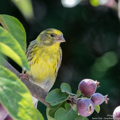 Serin cini (gilbert.calatayud) Tags: europeanserin fringillidés passériformes serincini serinusserinus bird oiseau graulhet tarn
